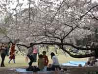 Токио. Сакура в парке.